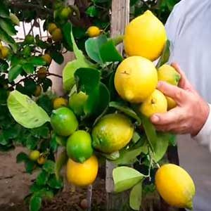 comprar limones organicos