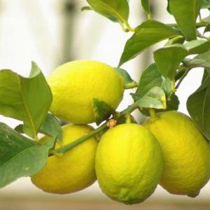 limón de cultivo orgánico