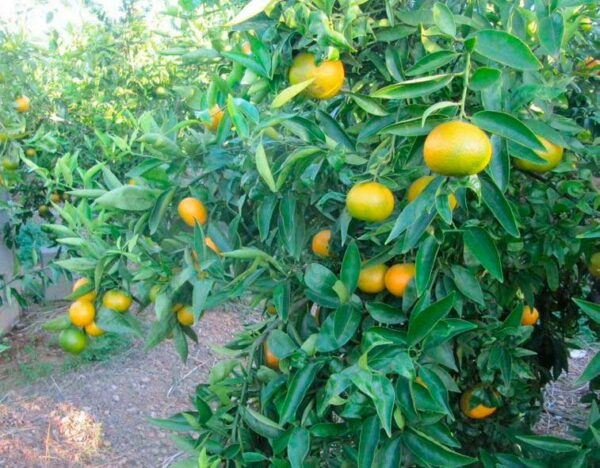 arbol mandarino