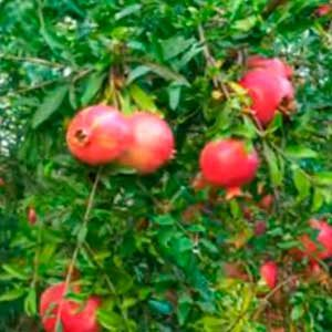 árbol granado