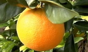 variedad navel naranja