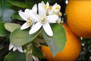 cultivo de naranja y cambios de clima