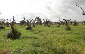 olivos afectados por xylella