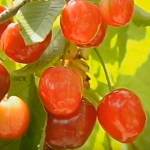 cerezas de cultivo eco