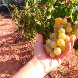 uvas moscatel ecologicas