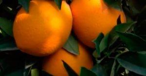 naranjas on line